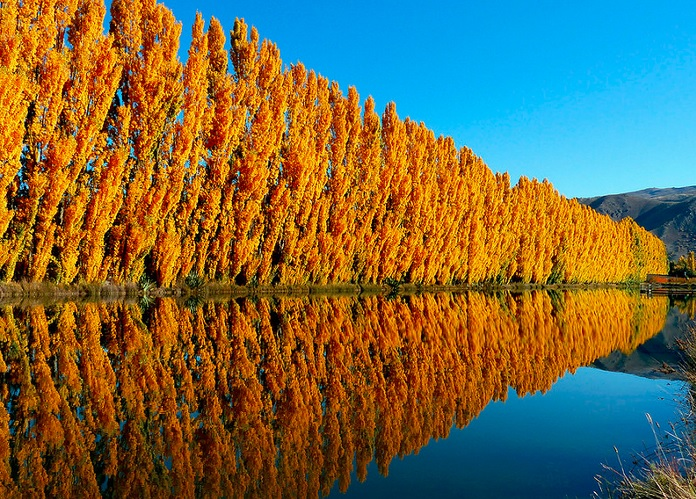 Poplars near water