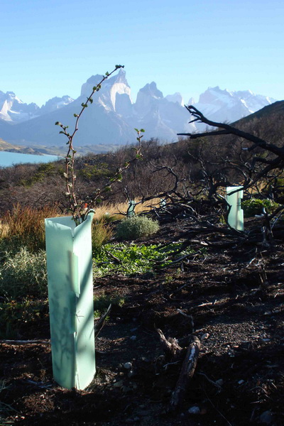 A tree from a Reforestemos Patagonia site in Chile
