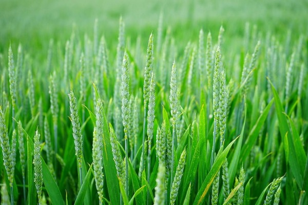 Green Wheat image