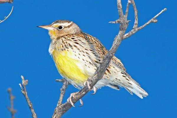 Meadowlark in tree