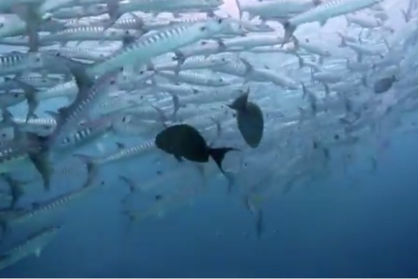 A school of fish in Indonesia