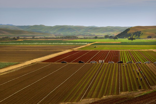 Lettuce crops in California